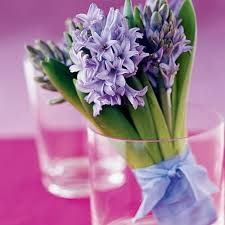 Looking for Hyacinths
