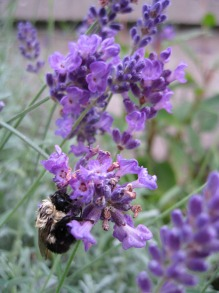 bumblebee in lavender copy